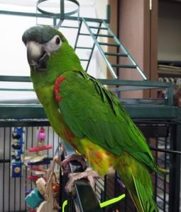 Gizmo, Hahn's Macaw